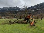 Umgeknickter Baum in Oberarth. (Bild: Geri Holdener, Bote der Urschweiz)