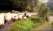 Brav folgten die Schafen den Begleitern. (Bild: Stefan Schelbert/Youtube)
