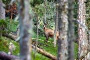 Immer mehr Jäger verzichten in solchen Situationen auf den Abschuss: Der fragile Gämsbestand macht ihnen Sorgen. (Bild: Keystone/Gaetan Bally)