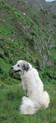 Herdenschutzhunde sorgen für Diskussionen in Isenthal. (Bild: Nadja Schärli (Flühli, 2010))