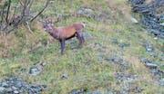 Im Brunnital sind Platzhirsche mit ihren Rudeln und mächtige röhrende Hirsche zu beobachten. (Bilder: Toni Gnos (Unterschächen, 23. September 2017))