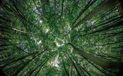 Wer den Wald in sich aufnimmt, tut Gutes für Körper und Seele. Aber es funktioniert anscheinend nur spazierend und ohne Musik via Ohrenstöpsel. (Bild: Jens Büttner/Keystone)