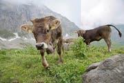 Die Kühe auf der Weide von Wendelin Waser. (Bild: Corinne Glanzmann)