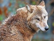 Einmal zum Abschuss freigegeben, wurde der Wolf in Uri nicht mehr gesehen. (Bild: Keystone/Steffen Schmidt)