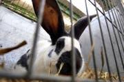 Symbolbild: Ein Kaninchen im Käfig. (Archivbild ZZ)