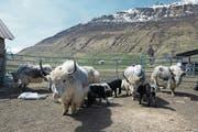 Das Yak ist ideal für die Gebirgsgegenden und besonders auch für Schafalpen. Seit 2000 besitzt Adrian Regli eine Herde in Andermatt. (Bild: Christoph Hirtler, Altdorf)