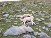 Auf der Alp Hohmad wurden Ende August neun Schafe gerissen. (Bild: PD)