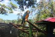 Der botanische Garten von Deshaies bietet auch Gelbbrustaras ein Zuhause. (Bild: Rahel Hug)