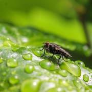 Fliege auf einem Blatt voller Regentropfen. (Bild: Leserbild Petra Jung)