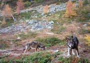 Wölfe wie diese im Oberwallis sollen nicht mehr als «streng geschützt» eingestuft werden. (Bild: Fotofalle Gruppe Wolf Schweiz)