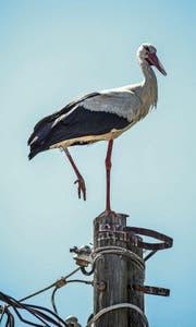 Derzeit sammeln sich die Weissstörche. Ihr Ziel: dem Winter davonfliegen. (Bild: Getty)