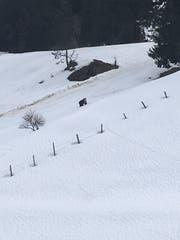 Der Bär ist auf der Gerschnialp gesichtet worden. (Bild: Leserbild Pascal Niedermann)