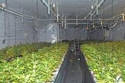Die 1500 Hanfpflanzen werden vernichtet. (Bild: Kapo)