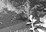 Ein Marder in einem Gartenbeet an der Lilienstrasse. (Bild: pd)