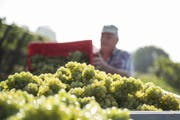 «Das ist ein Weissweinjahr, das Resultat ist besser und lebendiger als 2015», ist sich Roland Lenz sicher. (Bild: Mareycke Frehner)