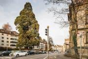 Der Mammutbaum an der Rosenbergstrasse, gegenüber der Villa Wiesental, soll zur Strasse hin starker Mobilfunkstrahlung ausgesetzt sein. (Bild: Hanspeter Schiess)
