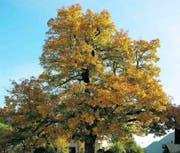 Wo unsere Ahnen lebten: Der Ahorn von Trun, Sprössling des ursprünglichen Baums. (Bilder: Kurt Derungs)
