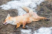 Kürzlich wurde bei toten Füchsen der Staupevirus festgestellt. (Bild: Artem Merzlenko)