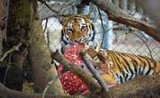 Auch der Tiger im Walter-Zoo erhält an Weihnachten Päckli. B (Bild: ild: PD)