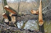 Hier, wo das Regenwasser aus dem Industriegebiet Baffles ins Retentionsbecken fliesst, hat ein Biber die unterste von drei Staustufen gebaut. Einzelne angenagte Bäume hat man gefällt. Nicht, um den Biber beim Dammbau zu unterstützen, sondern damit die Bäume nicht unkontrolliert in die Nachbargrundstücke stürzen. Man hat sie ihm dennoch liegen gelassen, weil die Rinde Bibern als Winternahrung dient. (Bild: Max Tinner)