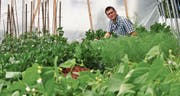Adrian Büchler aus Degersheim in seinem Anfang Jahr in Betrieb genommenen Treibhaus. Hier wächst das Gemüse, das am Wochenmarkt Absatz findet. (Bild: Zita Meienhofer)