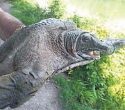 Diese Chinesische Weichschildkröte ist aus dem Gübsensee gefischt worden. (Bild: pd)