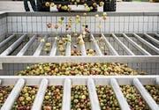 Es ist Hochsaison in der Mosterei Möhl. Diesen Herbst werden voraussichtlich 30 000 Tonnen Mostobst gepresst. (Bild: Mareycke Frehner)