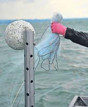 Die Berufsfischer wollen wieder mehr Fische fangen. (Bild: Archiv)