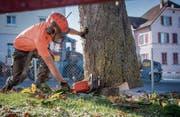 Die Kastanienbaumallee vor dem Schulhaus Ebnet in Andwil wird durch Mannes- und Maschinenkraft innert weniger Stunden gefällt. (Bild: Urs Bucher)