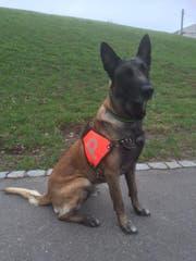 Der Polizeihund H'Jaro fasste einen russischen Staatsbürger, der von der Polizei flüchtete. (Bild: Kapo AR)