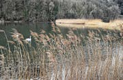 Am Wichensteiner Seeli wird man die Vögel bald aus dem Verborgenen beobachten können, ähnlich wie hier im Neeracherried. (Bild: BirdLife Schweiz)