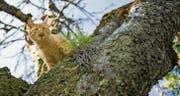 Tierschützer und Tierärzte fordern, dass wilde Katzen kastriert werden. Verantwortlich dafür ist, wer die Katze regelmässig füttert. (Bild: Urs Jaudas)