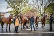 Rund 270 Pferde sind an der Pferdemesse während der Offa zu sehen. Gestern wurden die Tiere von ihren Züchtern eingefahren. (Bild: Urs Bucher)