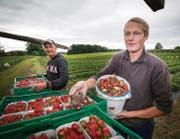 Etwa 20 Prozent der Erdbeeren sind faul: Roman Schildknechts Bruder Cornel auf dem Erdbeerenfeld in Beggetwil, Mörschwil. (Bild: Ralph Ribi)
