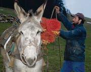 Schafhirte Boro Stoilov lädt dem Esel Zäune auf, welche für die Umzäunung der Schafherden auf- und wieder abgebaut werden. (Bilder: Patricia Wichser)