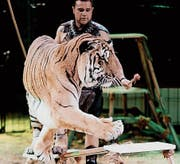 Der Mexikaner Victor Guillaumin zeigt im Circus Royal Tricks mit fünf Bengalischen Tigern. (Bild: Alexander Leumann/PD)