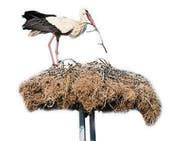 Stork in a nest with two young storks (Bild: (112974345))