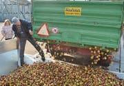 Im Oktober hat die Mosterei in Henau Hochsaison. Die Landwirte laden täglich tonnenweise Mostobst ab.
