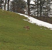 Dieser Wolf wurde vor wenigen Tagen in Nesslau gesichtet. (Bild: pd)