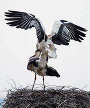 Das Storchenpaar zog es vor, den Winter in der «Stadt der Liebe» zu verbringen. (Bild: Robert Hangartner)