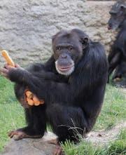 Schimpanse hamstert Rüebli
