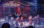 Die Hauptattraktion des Circus Royal sind die Löwen mit ihrem Dompteur Bruno Gaffo. Gegen die Tierhaltung protestieren aber Tierschützer. (Bild: Andrea Stalder)