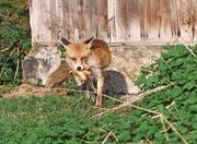 Füchse kommen in bewohnten Gegenden leicht zu Nahrung. Das Problem ist hausgemacht. (Bild: Ralph Ribi)