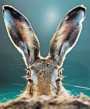Am Bodensee treten vermehrt Fälle der Hasenpest auf. (Archivbild: Susann Basler)