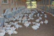 Ob Legehühner oder Mastpoulets (im Bild): Die Nutzhuhn-Haltung nimmt im Toggenburg weiter zu. Auf jeden Einwohner kamen 2016 rund 3,5 Hühner. (Bild: Beat Lanzendorfer)