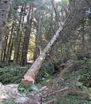 Der Baum fällt: Diese Massnahme hilft dem Wald, das Holz wird genutzt. (Bilder: Sabine Schmid)