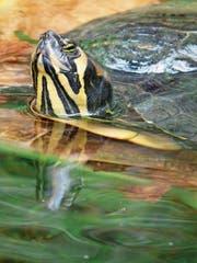 Beliebtes Importgut: Eine Gelbwangenschildkröte, die ursprünglich aus Nordamerika stammt. (Bild: PD)