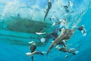 Ein mexikanischer Shrimp-Kutter wirft unerwünschten Beifang wie etwa Rochen zurück ins Meer. Laut WWF sind 40 Prozent der Fänge Beifang. (Bild: WWF/Brian J. Skerry)