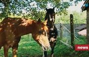 Den beschlagnahmten Pferden geht's nach behördlicher Pflege und Fütterung inzwischen wieder gut. (Bild: TVO)