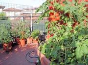 Tomaten: Auf dem Balkon sehr beliebt. Bild: Fotolia